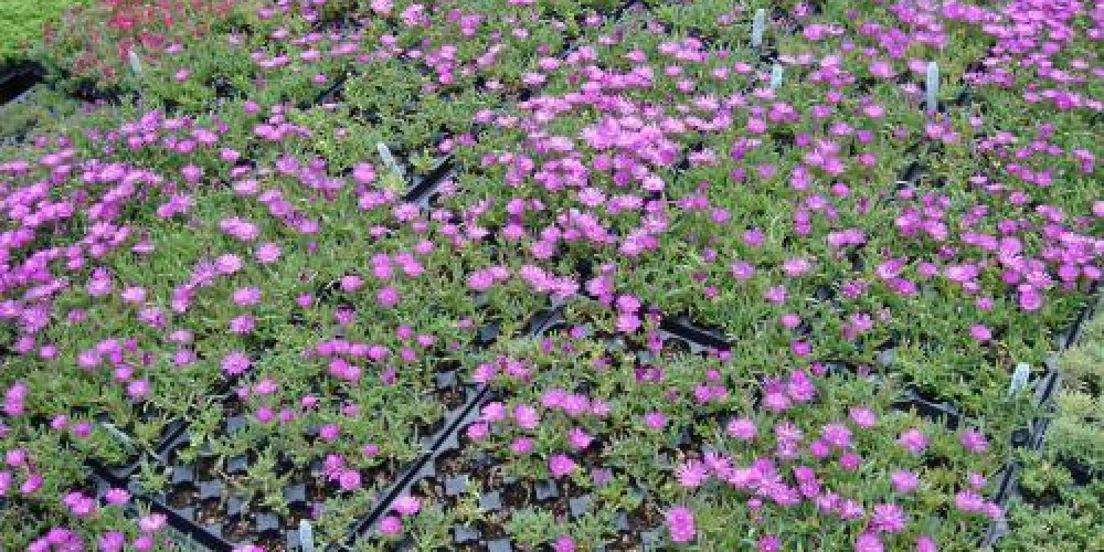 Green Roof Plugs